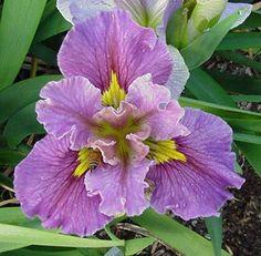 Iris Haven - Longer Lasting Flowers Iris Flowers, Pretty Flowers, Colorful Flowers, Planting Flowers, Iris Garden, Purple Garden, Garden Plants, Louisiana Iris, Growing Irises