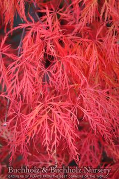 Acer palmatum 'Baldsmith'. Mounding dissectum. Spring colors: Orange - red, then soft green in the summer. Fall colors: Brilliant orange Grows to 4 ft tall and 5 ft wide
