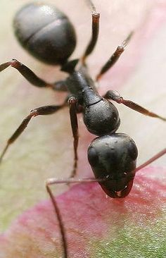 Carpenter Ant (Camponotus sp.)