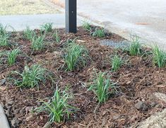 """Liriope 'Big Blue'   Petals and Pins - 4"""" Liriope planted in Fall around the mailbox. Evergreen, Zone 5-10, 18""""H x 18""""W"""