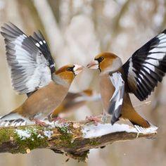 Hawfinch territory