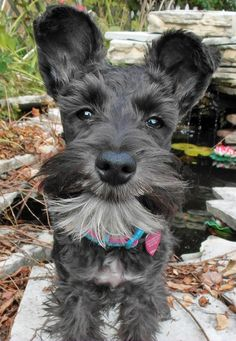 Ranked as one of the most popular dog breeds in the world, the Miniature Schnauzer is a cute little square faced furry coat. Schnauzers, Miniature Schnauzer Puppies, Schnauzer Puppy, Cute Puppies, Dogs And Puppies, Cute Dogs, Doggies, Most Popular Dog Breeds, Cute Puppy Pictures