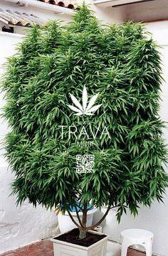 Картинки классные конопли сумамед и марихуана