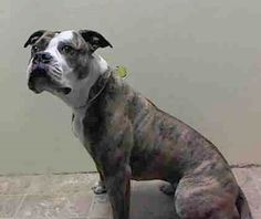 Brooklyn Center SHEILA aka EDNA - A1031662 FEMALE, BR BRINDLE / WHITE, PIT BULL MIX, 3 yrs STRAY - STRAY WAIT, NO HOLD Reason STRAY Intake condition UNSPECIFIE Intake Date 03/29/2015 https://www.facebook.com/photo.php?fbid=985971671415712