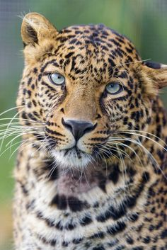 Pensive leopard portrait by Tambako the Jaguar, via Flickr