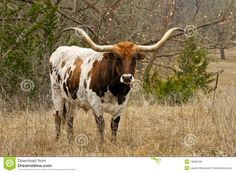 Texas Longhorn standing in brush. This is an icon of Texas , Longhorn Rind, Longhorn Cattle, Longhorn Steer, Oklahoma Sooners, Texas Longhorns, Beef Cattle, Architecture Tattoo, Animals Images, Outdoor Art