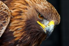Golden Eagle Portrait