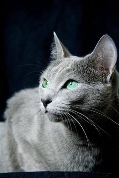 La Maya  #russischblau #russianblue #katzen #cats