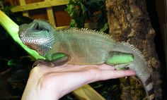 Chinese Water Dragon | Male Chinese Water Dragon, Good feeder, beautiful colours, small ...