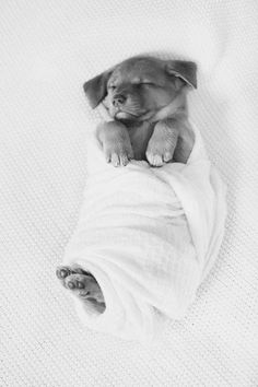 When photographer Joelea McDonald was asked to take some picture of her friend Riley's new puppy, Walnut, she didn't have to ponder the decision for too long.  She quickly set to work on giving little Walnut a photoshoot in a traditional newborn photoshoot style. You know, like proud parents usually do to present their babies to the world.