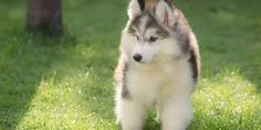 People oftentimes want something that can suit in their family a pet that could become a perfect indoor companion and there is one breed that is capable and its name is miniature husky. Siberian Husky Price, Siberian Husky Breeders, Siberian Husky For Sale, Siberian Husky Training, Husky Breeds, Dog Breeds, Huskies For Sale, Husky Puppies For Sale, Puppies Near Me