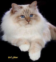 Cat Breeds | TICA Birman Breed Introduction