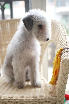 Bedlington Terrier Puppy.