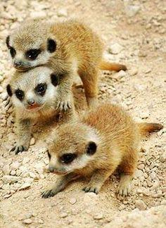 Meerkat youngsters