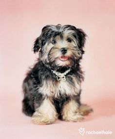 Top 10 Most Expensive Dog Breeds havanese