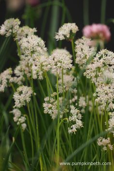 Allium cernuum 'White Max', pictured on Jackie Currie's Allium exhibit, at the RHS Hampton Court Palace Flower Show Rhs Hampton Court, Replant, White Flowers, Plants, Mushroom Compost, Flowers, Flower Show, Rhs, Soil