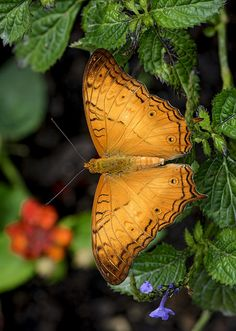 14 best images about Butterflies - Cruiser (Vindula) on . Give Me Butterflies, Butterflies Flying, Beautiful Butterflies, Beautiful Birds, Butterfly Kisses, Butterfly Art, Yellow Finch, Butterfly Pictures, Flying Insects
