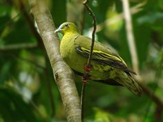 Pompadour Green-pigeon (Treron pompadora) Lateral view of an adult female perched in a tree.