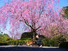 京都妙心寺退蔵院の桜。妙心寺は禅宗(臨済宗)境内は全体として清々しい。この退蔵院の桜は珍しい。一度行ってみたい。