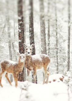 Deer in the snow.  Rapid City, South Dakota