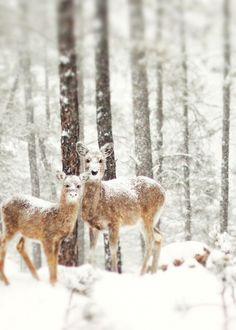 Deer in the snow.  Rapid City, South Dakota
