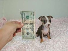 1000 Images About Chihuahuas On Pinterest Teacup