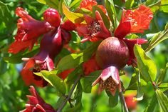 One of the prettiest flowering shrub or small tree is the pomegranate tree Punica granatum. Description from thegardenlady.org. I searched for this on bing.com/images