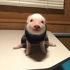 32 Adorable animal pictures that you do not want to miss - Baby Animals 2019 Cute Baby Pigs, Cute Piglets, Baby Animals Super Cute, Cute Little Animals, Cute Funny Animals, Baby Piglets, Baby Animals Pictures, Cute Animal Pictures, Animal Pics
