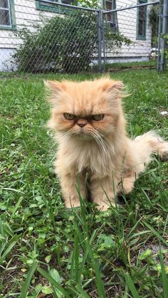 Man Went To Inspect An Empty House — And Found The Grumpiest Cat. *Following is the translation of this article in Japanese. ★アメリカはフロリダ州、不動産屋に勤める男性が空き家の視察に行くと、その敷地内で世界一 不機嫌なネコちゃんと遭遇。忘れたくても忘れられないインパクトのあるその風貌!食べ物も飲み水も無く、ひとりぼっちの様子。携帯していたマンゴーをあげてみても興味を示さず、抱っこも失敗。でも、次第にネコちゃんは男性の後をついて来るようになり、とうとう仕方なさげに  (^^;;  男性の愛情を受け入れてくれる迄に。結果、この子は男性の同僚の家に引き取られ、今では家も愛情も何もかも手に入れた元ホームレス不機嫌にゃんこ。でも、出来ればもうマンゴーはナシでね!…と言った内容の記事。