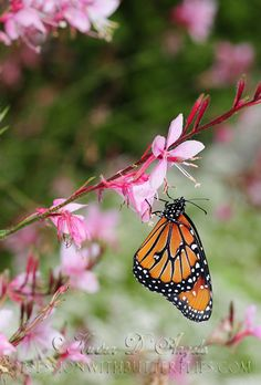 Queen Butterfly on  Pink Flowers