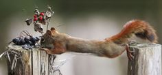 Squirrel Stretches Between Posts
