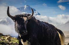 Tibetan Yak Rongbuk Monastery Mount Everest http://www.divergenttravelers.com/rtw-recap-8-days-tibet/ #tibet #China #mounteverest #mustsee #mustread #divergenttravelers #bestblog #postoftheweek