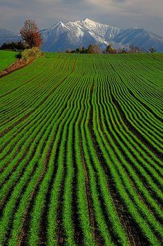 Wheat field |  Biei Hokkaido, Japan (East Asia)