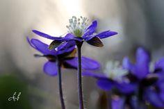 Anemone apatica (celestini)....