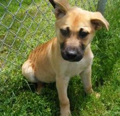 Rascal is an adoptable German Shepherd Dog Dog in Columbus, OH. Flynn, Scout, and Rascal are three adorable gsd mix puppies that came from a high kill shelter in rural ohio after their days became num...