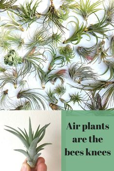 I'm going to treat myself to an airplant. They're so easy to style aswell. I've got a glass bauble and I'll put it inside. #airplants #houseplants #gardenforhealth #greenliving #ad