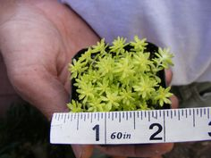 Yellow sedum japonica Tokyo Sun Ground Cover Succulent -Fairy Garden Plant  You will receive the plant as shown in the pictures. Plant shown is in an approx. 2 inch pot.   PLANT WILL BE SHIPPED IN POT AS SHOWN !!!  Payment We accept Paypal when using Major Credit Cards, Cashiers Checks, Money Orders and even personal checks after they have cleared.  During cold weather when temp fall below 40 degree, heat pack is recommend for your package. The heat pack will stay warm in your package with…