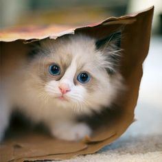 You cannot have too many pictures of ragdoll kittens in your life.