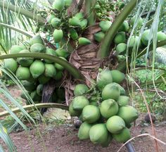 Dwarf coconut tree