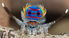 Looking for an interesting macro photography subject? Then you can't go past the peacock spider! Let it mesmerize you with its peacock spider dance moves. Beautiful Bugs, Beautiful Butterflies, Amazing Nature, Spider Dance, Jumping Spider, Beautiful Creatures, Animals Beautiful, Animals Amazing, Cutest Animals