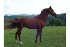 National Show Horses | National Show Horse Mare for Sale in Georgia - Gings Golden Sizzle
