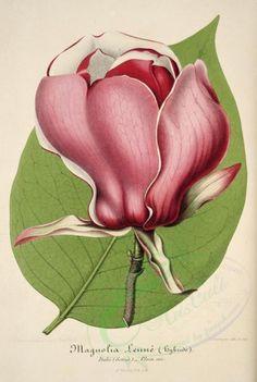 Magnolia Lenne Botanical Print Giclee Art By BelleBotanica