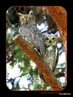 Fledgling Great Horned Owls Nature Print by MoInKiBeadDesigns, $20.00