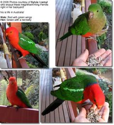 King Parrots in their natural range of Australia
