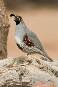 Gambels Quail (Callipepla gambelii) male, Sonoran Desert, Arizona. Gambels Quail are pear-shaped birds with short legs and roundish wings. Both sexes are...