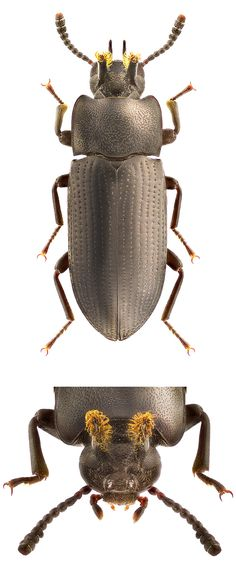 Psammoryssus titanus