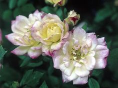The rosa 'Baby Masquerade' is a miniature rose ideal for a small pot, with yellowish flowers edged with pink.