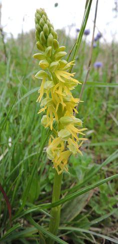 Orchis anthropophorum in giallo Cagli-Marche