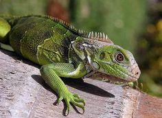 Iguana. Saurio. Reptil
