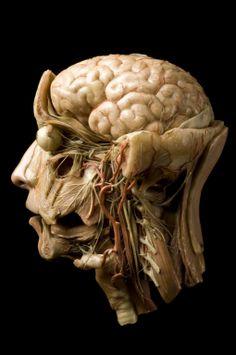 Wax anatomical model of a human head, Europe,
